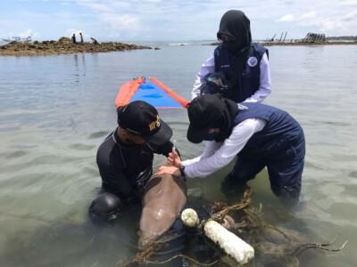 KKP Selamatkan Bayi Dugong Terdampar, Dengan Luka di Bagian Perut dan Punggung